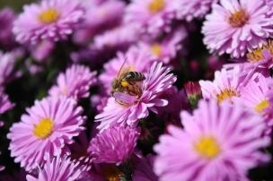 Pollensammlerin auf einer Asterblüte